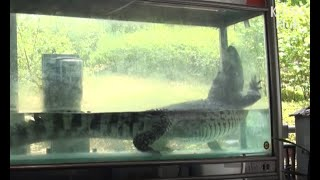 Crocodile Imprisoned In Tiny Tank Misses The Wild | Animal In Crisis EP32