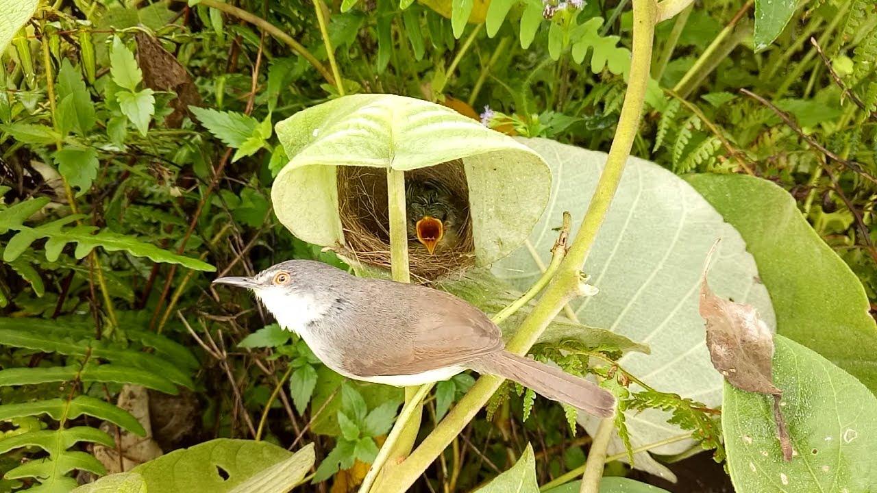 Đi Thăm Lại Tổ Chim Sâu Đầu Đen | 2 Tổ Chim Bìm Bịp Cóc Chim Non Đã Rời Tổ