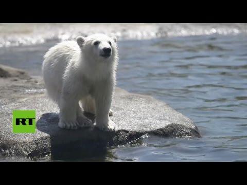 El Zoo de Ohio muestra la adorable cría de un oso polar