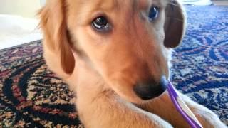 Golden Retriever Puppy Brushes Her Teeth