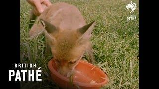 Pet Fox: How To Keep