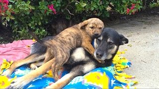 Video Hope for Paws found these pups living in a cave.  Here they are at our foster home download MP3, 3GP, MP4, WEBM, AVI, FLV Agustus 2018