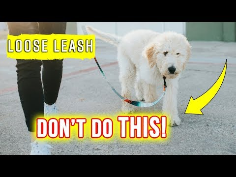What NOT to do when Leash Training your Puppy!! ❌  Goldendoodle Puppy Tips
