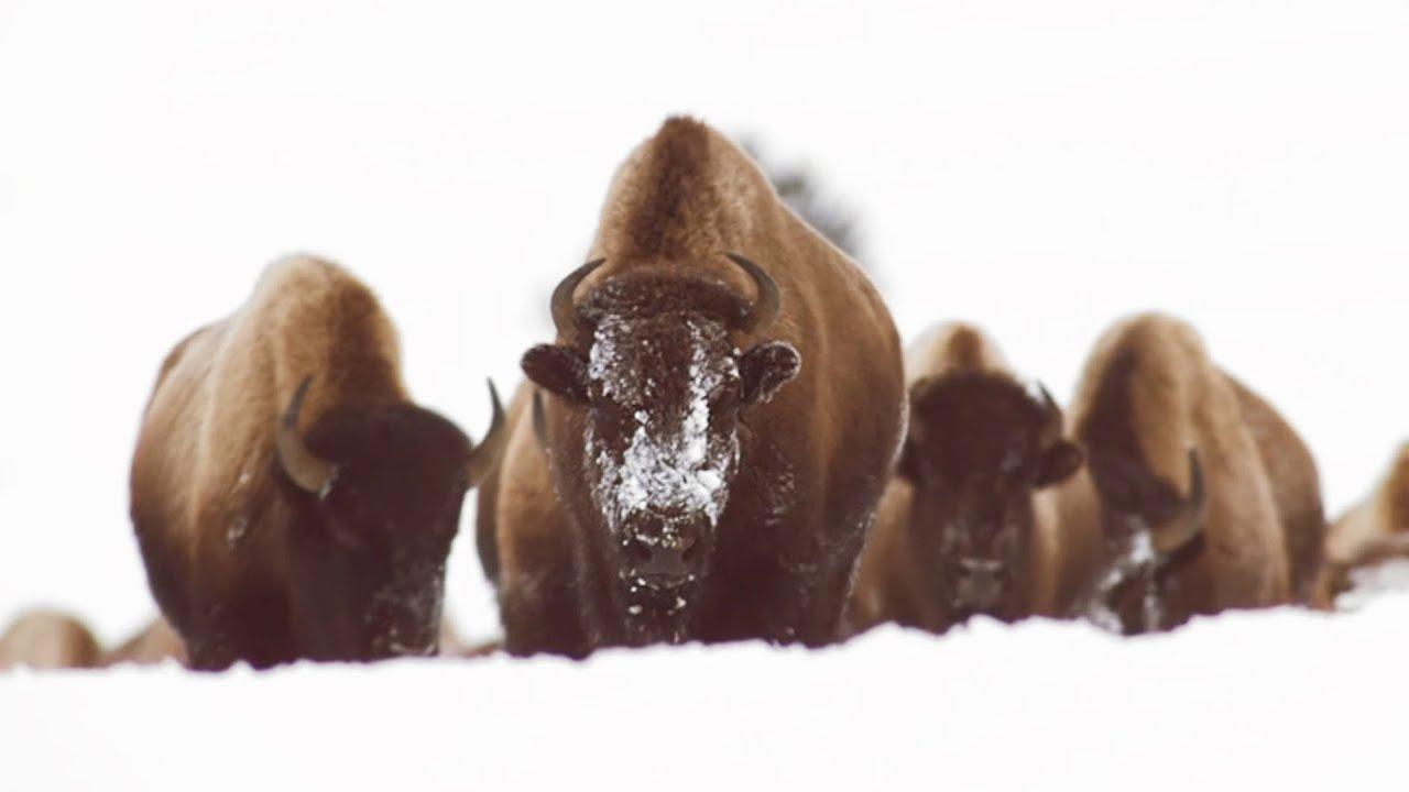 Ces bisons sont en galère d'eau chaude - ZAPPING SAUVAGE