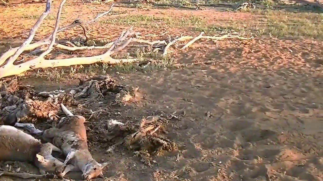 Big Feral Hog Boar Shot In Australia Youtube