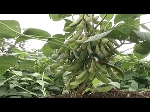 Soybean Cultivation in Kharif Season - Express TV