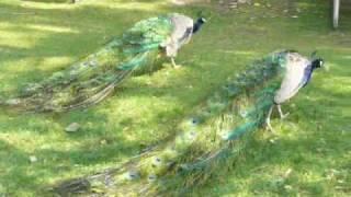 Peacock Papa, Mama & Babies @ Calgary Zoo