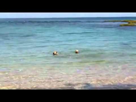 Chó bơi ra biển... cắn cá mập.flv