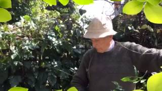 Pruning rambler roses, tips & demonstration with me' dad!