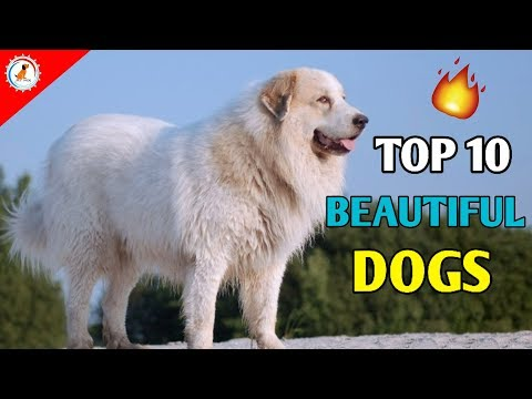 TOP 10 BEAUTIFUL DOGS / TOP 10 DOGS