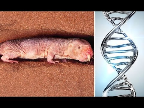 'SUPERHUMAN' mole rats could hold key to ETERNAL HUMAN LIFE after 'genetic code' discovery