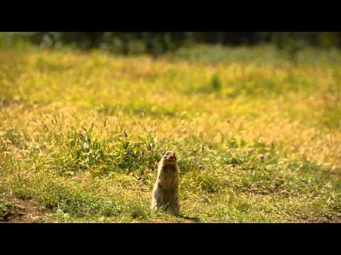 Excited Columbian Ground Squirrel