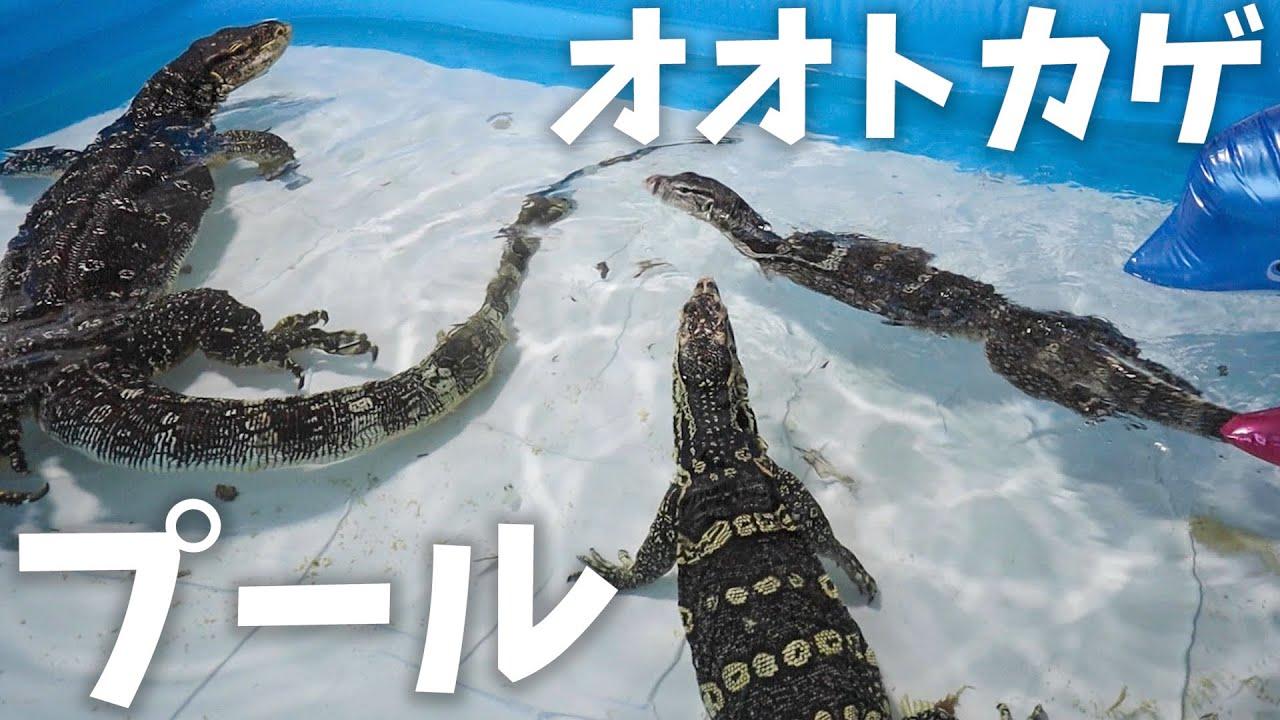 オオトカゲ達を巨大プールで遊ばせてみたら...楽しすぎた!
