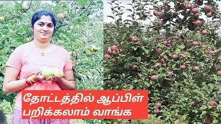 ஆப்பிள் தோட்டத்தில் ஆப்பிள் பறிக்கலாம் வாங்க /Apple farm apple picking in tamil