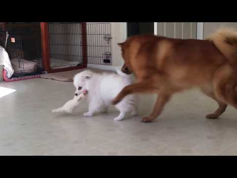 American Eskimo puppy challenged an older Finnish Spitz (8) and Tug of war between dogs
