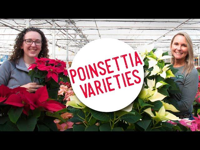 Beautiful Poinsettia Varieties