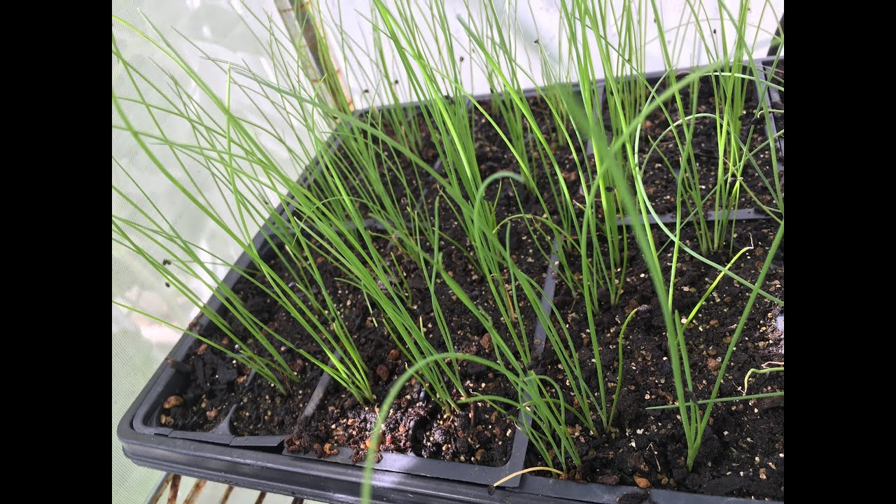 How To Start Chinese Chives Seeds Youtube