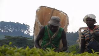 Satemwa Tea Plantation Worker