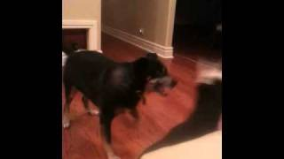 3 Month Old Doberman Playing With 10 Year Old Dobe/husky Mix