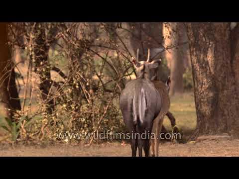 Breeding Season Of Blue Bulls (Nilgai Antelope)