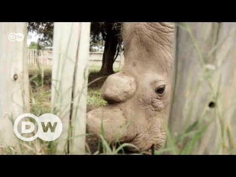 Hope for the last white rhinos? | DW English