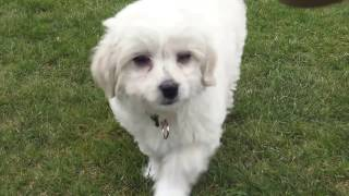 Chi-chon puppy potty training
