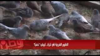 """الطيور الغربية في غزة.. تبيض """"ذهبًا"""""""
