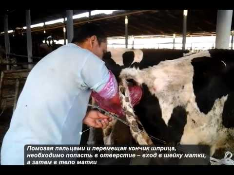 Искусственную корову для сбора спермы у быков