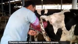 Искусственное осеменение в реалиях Узбекистана(Bizplan-МОЛОКО - http://bizplan-uz.ru/industries/milk/ Искусственное осеменение - это метод, при котором сперма быка искусственн..., 2014-05-27T08:12:45.000Z)