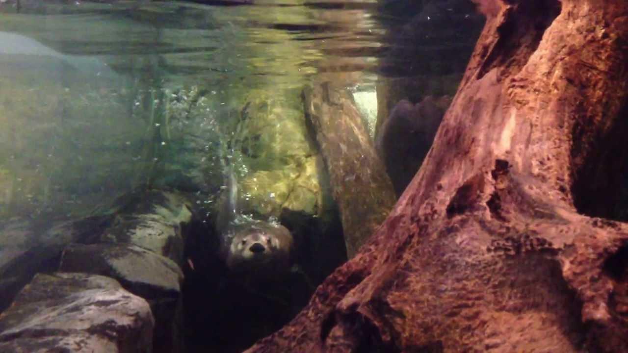 Otter Swimming At The Duluth Aquarium Youtube