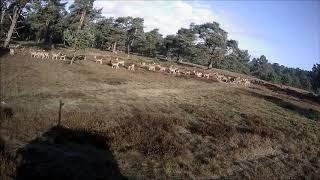 Moeflons in Het Nationale Park De Hoge Veluwe
