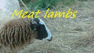 Raising and butchering lambs part 1.... feeding and raising