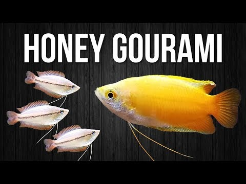 How To Breed Honey Gouramis