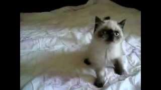 Котёнок, гималайская экзотка