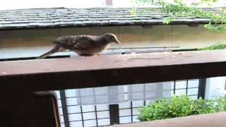 Hawaii Vacation: Ep.3 Dove Eating Bread In Oahu Hawaii Pt 1