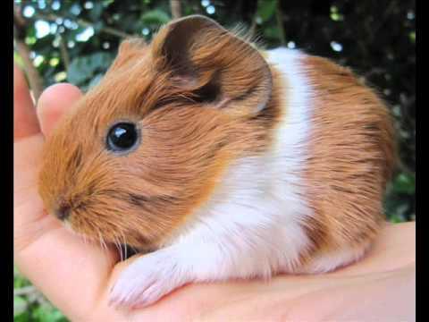 Fluffy Orange Guinea pigs - YouTube