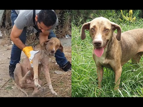 Update on a rescued stray pregnant dog with sarcoptic mange, anemia and twitching - Khomam
