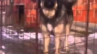 Qeni sharrit ma i forti kosov