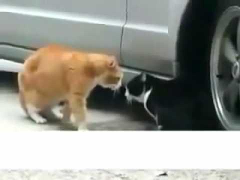 vợ chồng nhà mèo cãi nhau.mp4