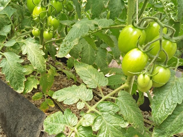Low Budget Hydroponic Tomatoes System in Kenya