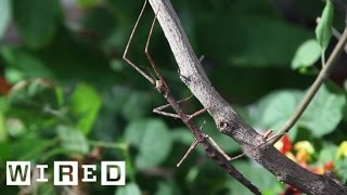 Meet the Many Insects That Insist on Being Sticks and Leaves | Absurd Creatures | WIRED