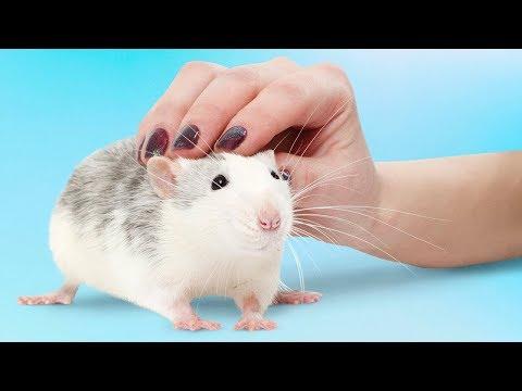 6 Razões Para Se Ter Um Rato De Estimação