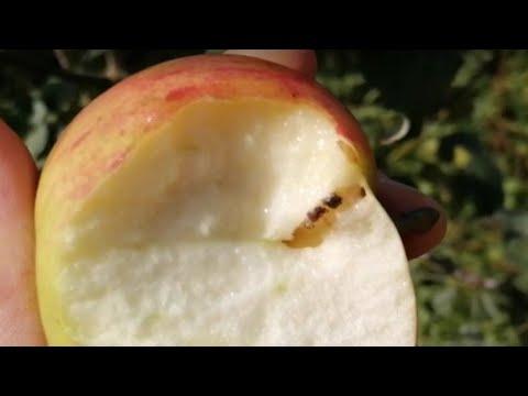Дегустация яблока от яблони Медуница. 16 августа 2020 г.