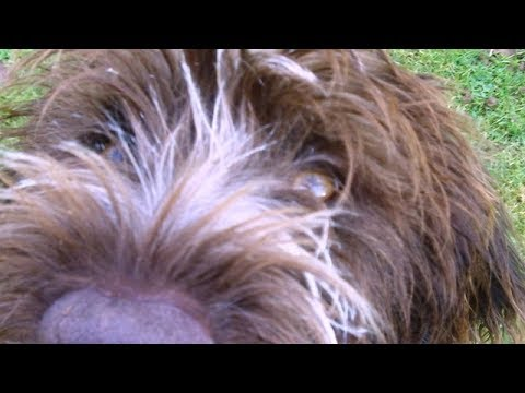 Wirehaired German Pointer puppy NOT chasing the Guinea Fowl.