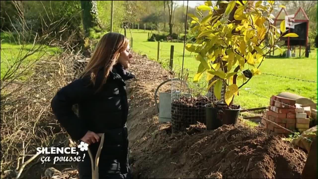 Comment Faire Une Pousse De Houx planter un ilex rotunda - silence, ça pousse !