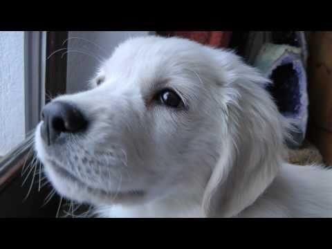 Golden Retriever Puppy Henry - 10 Weeks old