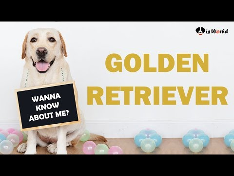 Golden Retriever | Facts And Characteristics | Dog Breed Information