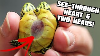 SEE-THROUGH TURTLE!! SEE ITS HEARTBEAT THROUGH ITS SHELL!! | BRIAN BARCZYK