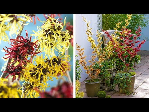 How To Plant Hamamelis Witch Hazel Winter Spring Guide Youtube