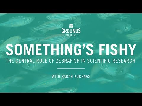 Something's Fishy: The Central Role Of Zebrafish In Scientific Research